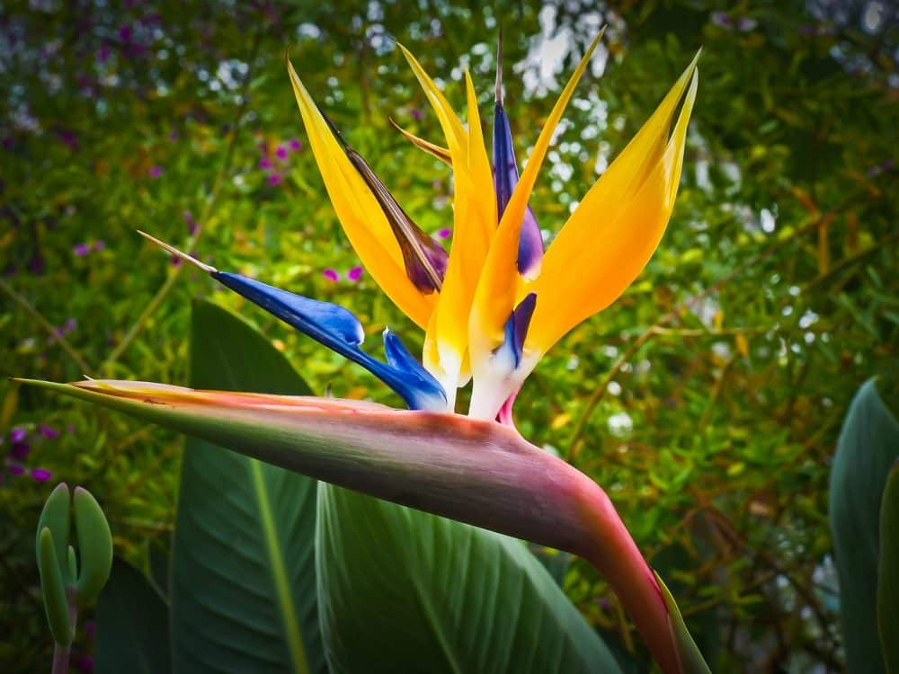 oiseaux de paradis conseils d'achat de plantation et d'entretien