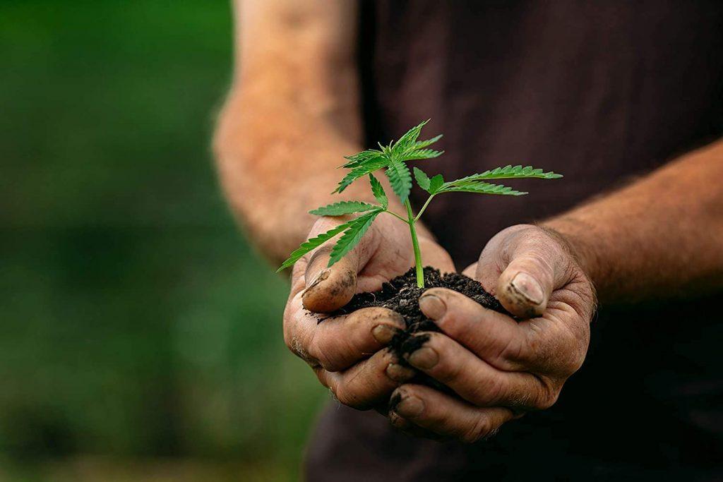 comment faire le choix des graines de cannabis