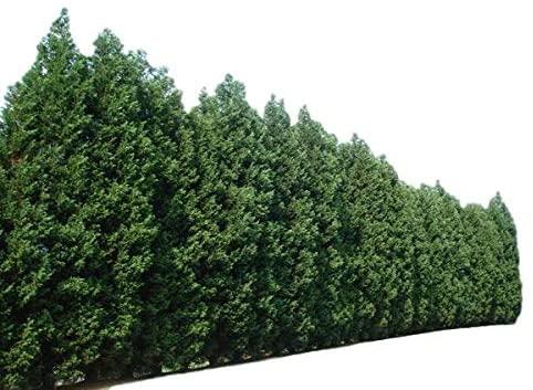 arbres brise-vue hauts pour votre jardin cypres