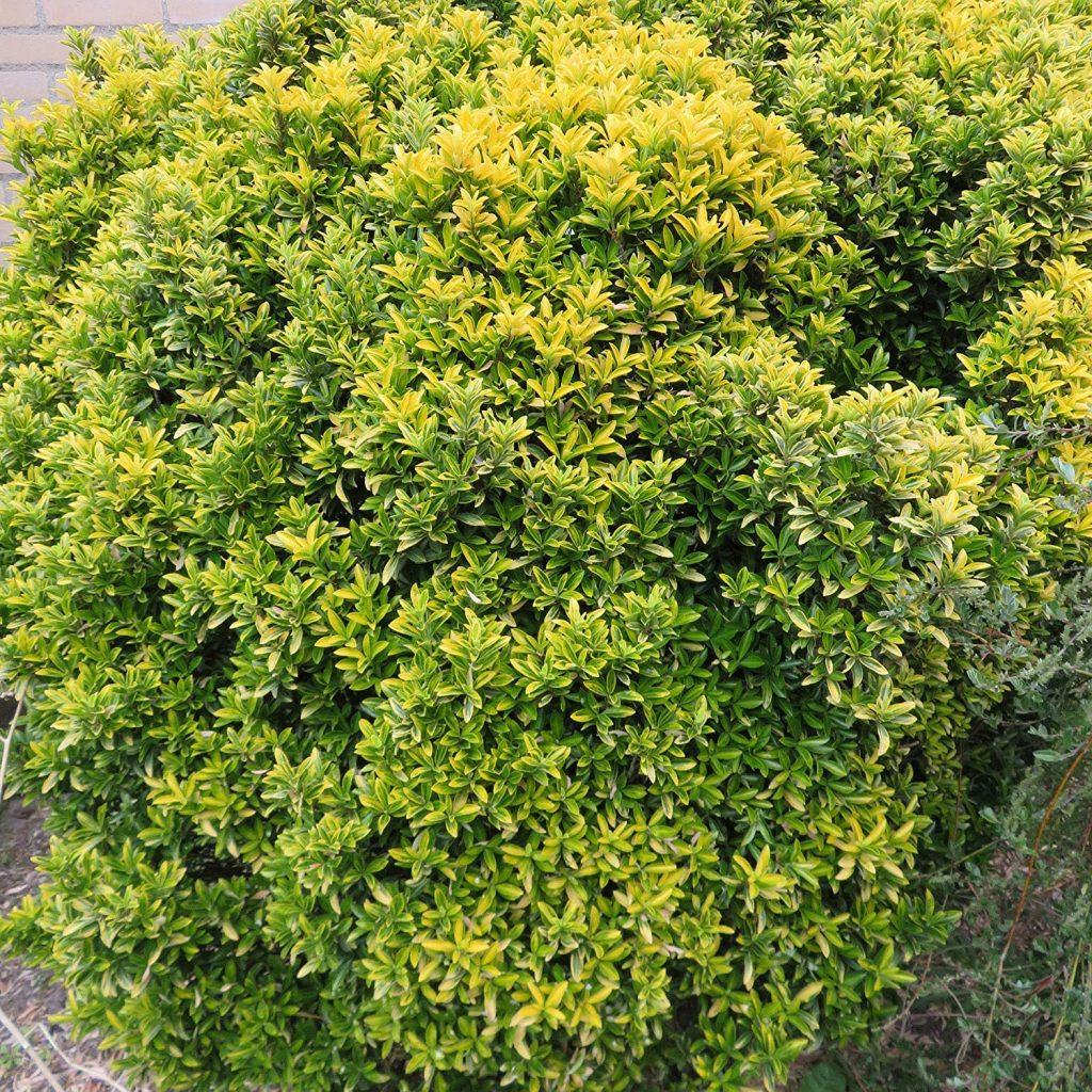 arbres brise-vue hauts pour votre jardin fusain de japon
