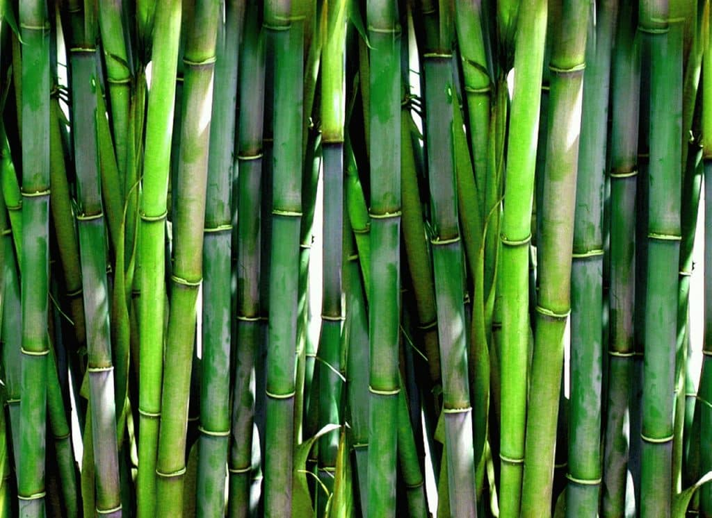 brise-vue végétal bambou vert