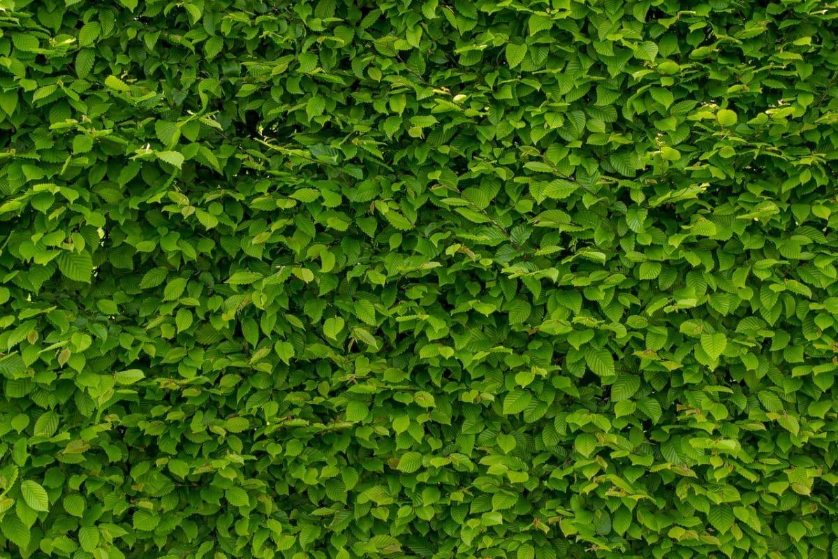 idées de brise-vue végétal