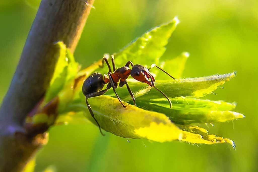 utiliser du talc dans le jardin adieux aux fourmis