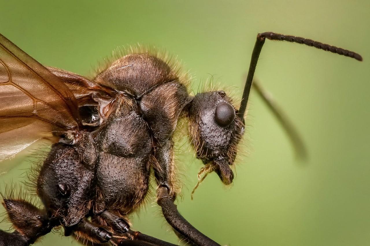 Remède de grand-mère contre les fourmis volantes